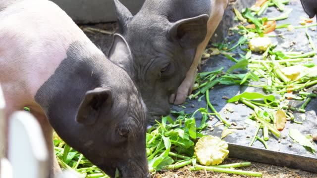 wild pigs eating feed video
