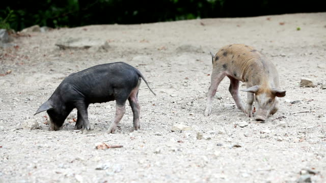 Wild pigs scratching in the ground video