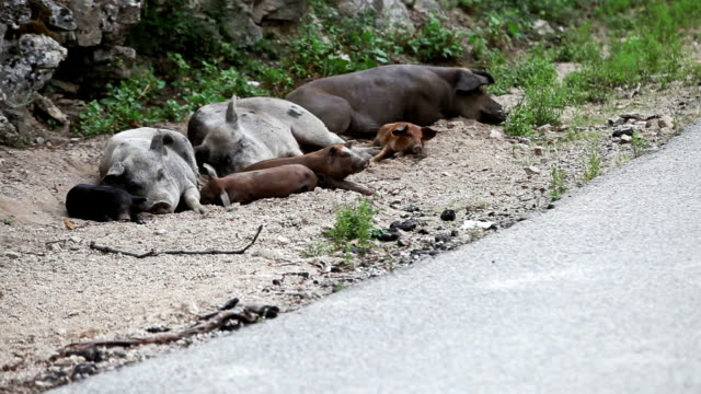 Wild pigs sleeping and waking up video