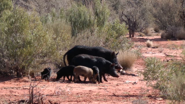 wild pigs video