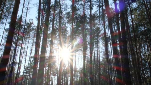 stockvideo's en b-roll-footage met wilde pine fairy bos. bewegen tussen de bomen in een mooie zonnige dag. aard - niet gecultiveerd