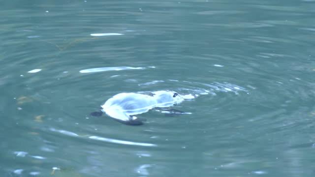 wild platypus simma på ytan innan dykning - platypus bildbanksvideor och videomaterial från bakom kulisserna