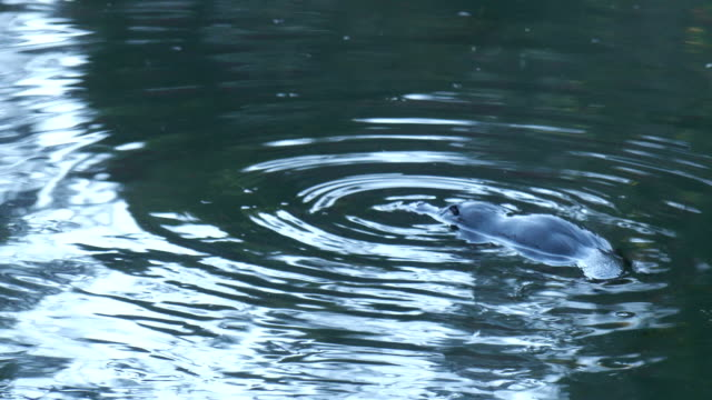 Wild Platypus swimming on the surface before diving