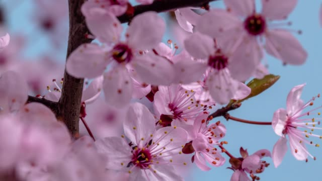 Wild plum Flower blooming against blue background in a time lapse movie. Prunus americana growing in time-lapse. - Stock video