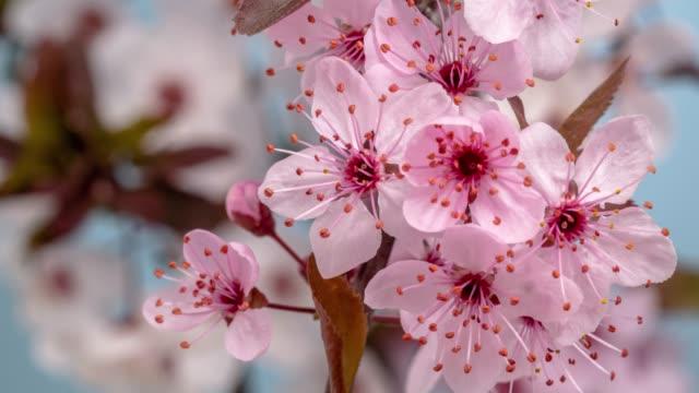 wildpflaute blüht vor blauem hintergrund in einem zeitraffer-film. prunus americana wächst im zeitraffer. -aktienvideo - zeitraffer fast motion stock-videos und b-roll-filmmaterial