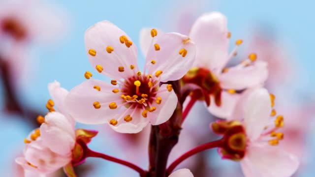 Wilde Pflaume Blume Blüte vor blauem Hintergrund in einem Zeitraffer. Prunus Cerasifera in beweglichen Zeitraffer wachsen. – Video