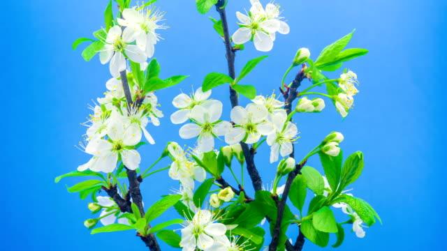 vídeos de stock e filmes b-roll de wild plum flower blooming against blue background in a time lapse movie. prunus cerasifera growing in moving time lapse. - flower white background