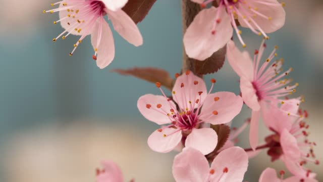 Wild plum Flower blooming against blue background in a vertical moving time lapse movie. Prunus americana growing in time-lapse. - Stock video