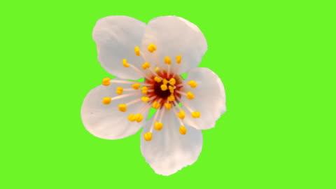 fiore di prugna selvatico che fiorisce in un lapse di tempo contro la chiave di crominanza. - capolino video stock e b–roll
