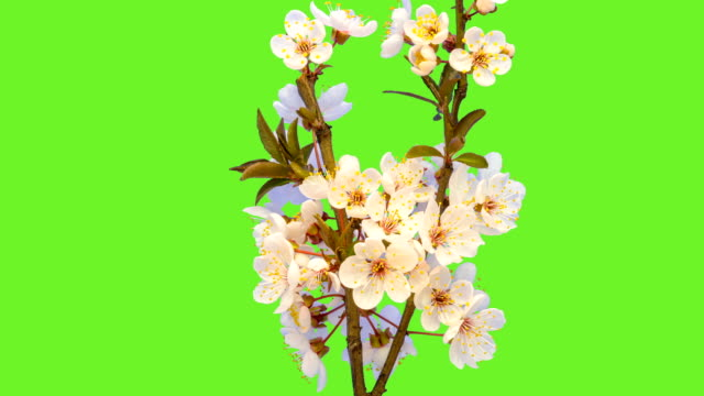 Wild plum flower blooming in a time lapse against chroma key. video