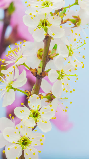 wild plum flower blooming in a vertical format time lapse 4k video.  stone fruit flower blossom in spring time. 9:16 vertical format suitable for mobile phones and social media. - pyłek filmów i materiałów b-roll