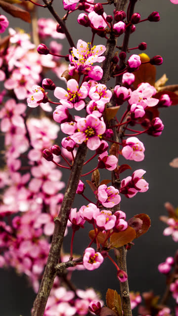 Wild plum flower blooming in a vertical format time lapse 4k video.  Stone fruit flower blossom in spring time. 9:16 vertical format suitable for mobile phones and social media.