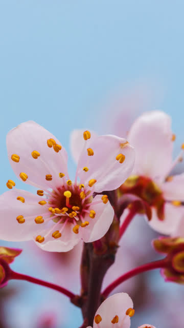 wild plum flower blooming in a vertical format time lapse 4k video.  stone fruit flower blossom in spring time. - pyłek filmów i materiałów b-roll