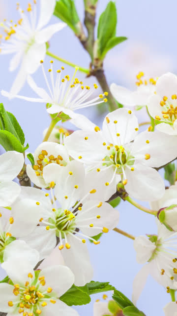 wild plum flower blooming in a vertical format time lapse 4k video.  stone fruit flower blossom in spring time. - stame video stock e b–roll