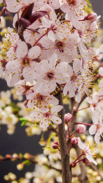 Wild plum flower blooming in a vertical format time lapse 4k video.  Stone fruit flower blossom in spring time.