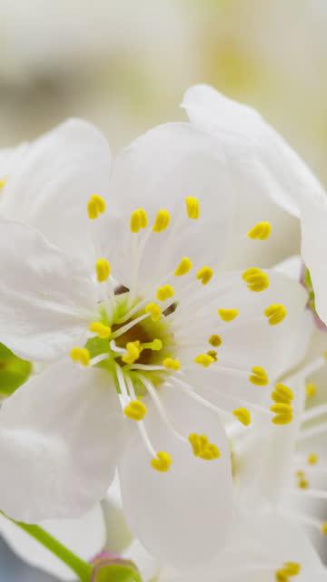 vídeos y material grabado en eventos de stock de flor de ciruela silvestre que florece en un formato vertical lapso de tiempo 4k vídeo.  flor de flor de fruta de piedra en primavera. - botánica
