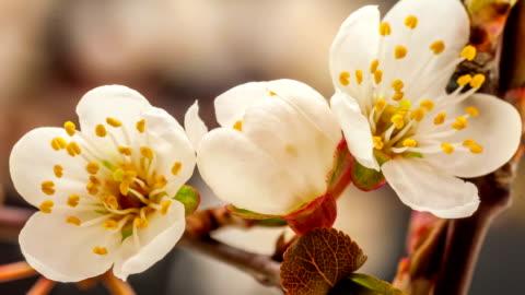 vídeos y material grabado en eventos de stock de wild plum flor florecer - desarrollo