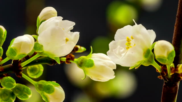 wild plum flower blooming - plants stock videos & royalty-free footage
