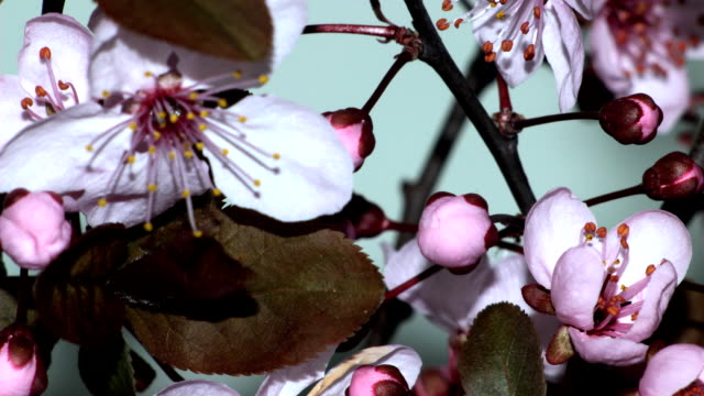 Wild plum flower blossoming Time lapse video