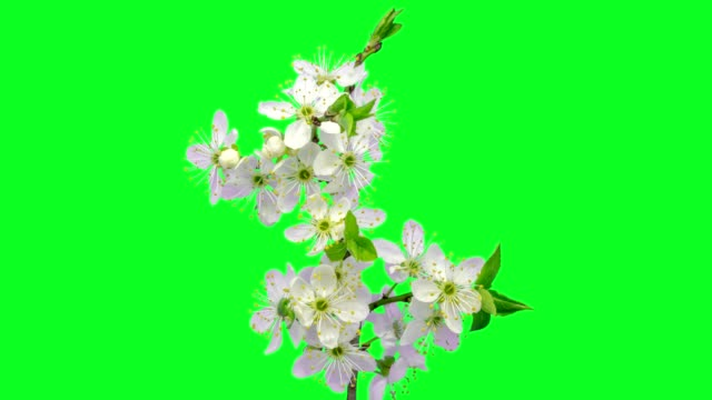 wild plum flower timelapse growing and blossoming with alpha channel - in fiore video stock e b–roll
