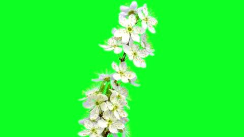 vídeos de stock e filmes b-roll de wild plum flower timelapse growing and blossoming with alpha channel - florescer