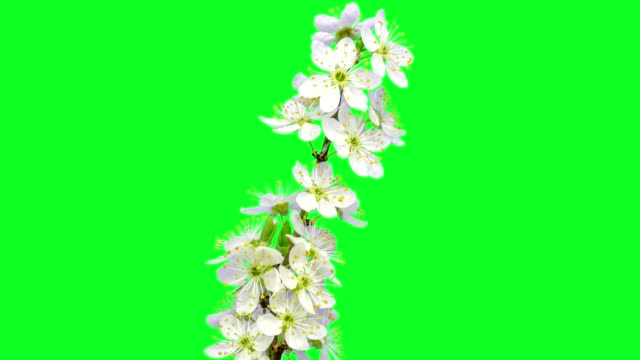 Wild plum flower timelapse growing and blossoming with alpha channel Timelapse video of a wild plum flower growing, blooming and blossoming with alpha channel in bloom stock videos & royalty-free footage