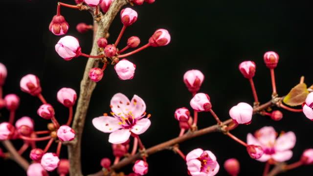 Wild plum tree flower growing timelapse video