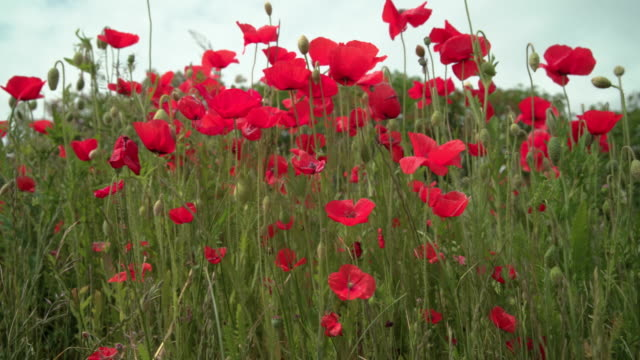 Wild Poppies in a Field. UHD video