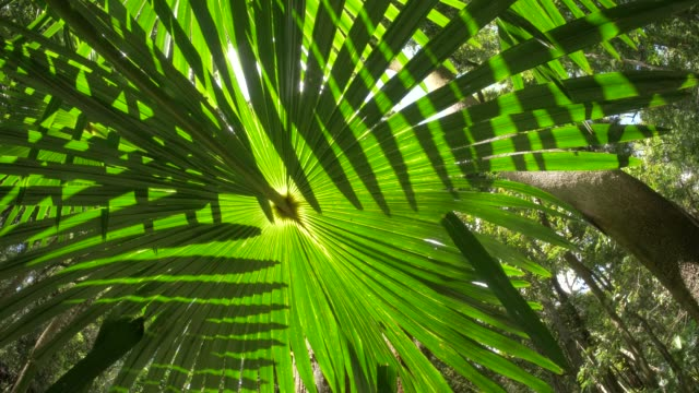 wild rainforest jungle palm fronds ecosystem in natural lush forest - albero tropicale video stock e b–roll