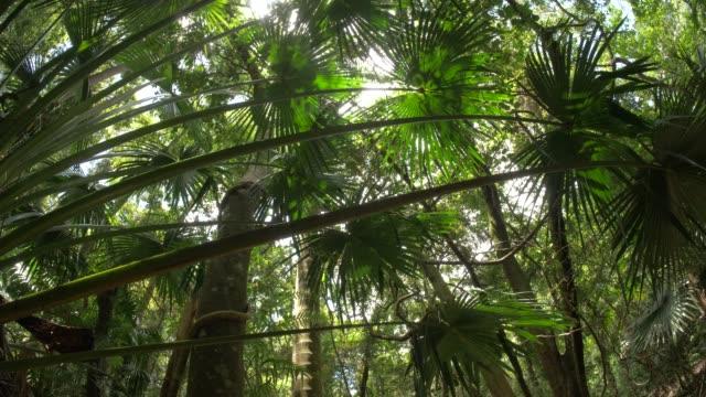 wild rainforest jungle palm fronda ekosystem i naturlig grönskande skog - eucalyptus leaves bildbanksvideor och videomaterial från bakom kulisserna