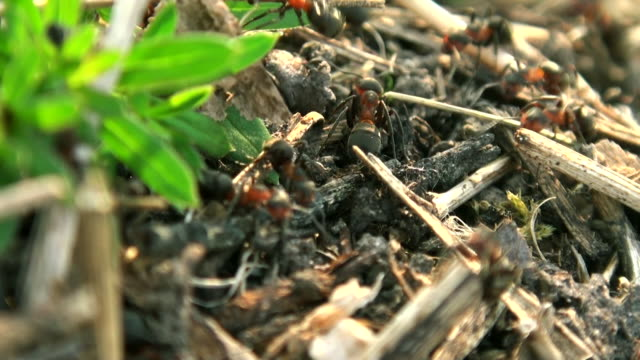 Wild red ants build their anthill, real time shot, - video