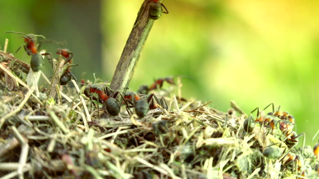 Wild red ants build their anthill,macro shoot with details - video