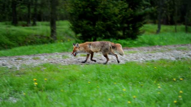 Raposa selvagem correr com comida - vídeo
