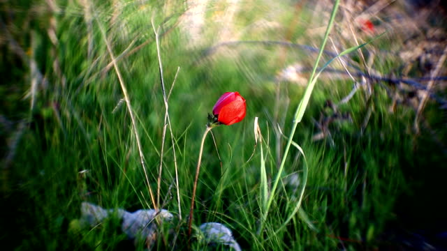 wild red poppies in the field