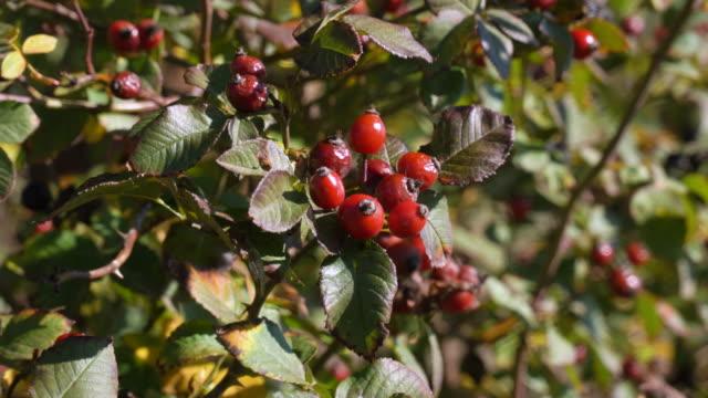 野生の赤いローズヒップの茂みが風に揺れる。自然治癒植物。 - イヌバラ点の映像素材/bロール