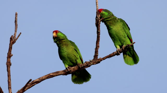 Wild red-crowned parrot pair wildlife area Brownsville Texas video