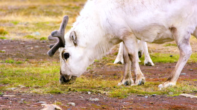 Wild reindeer eating in the in the arctic nature video