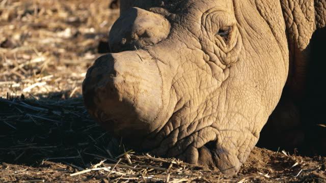 wild rhinoceros in africa - wildlife travel stock videos & royalty-free footage
