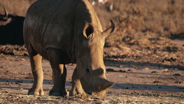 Wild Rhinoceros in Africa video
