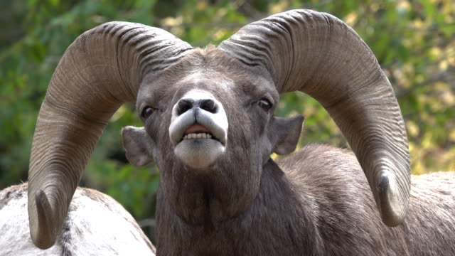 wild rocky mountain bighorn sheep ram close-up flehmen response smell waterton canyon colorado - sheep stock videos and b-roll footage