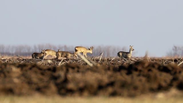 Bидео Wild roe deer herd in a field, spring time