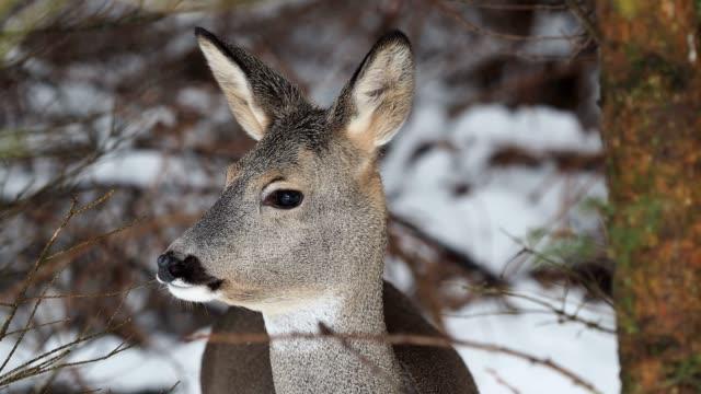 wild roe deer in winter nature. capreolus capreolus. - jelonek filmów i materiałów b-roll