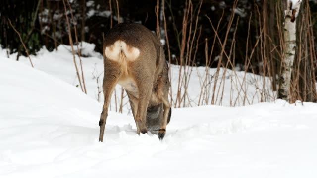wild roe deer in winter nature. capreolus capreolus. - group of people filmów i materiałów b-roll