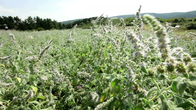 Wild sage flowers and plants shaking at wind video