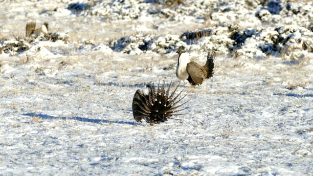 Wild sage grouse display on Colorado Rocky Mountain lek Arapahoe National Wildlife Refuge video