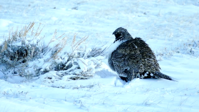 Wild sage grouse on Colorado Rocky Mountain lek Arapahoe National Wildlife Refuge video