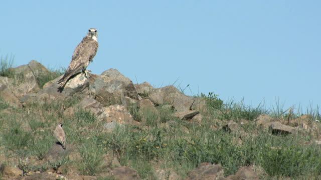 Wild Saker Falcon Watching Prey video