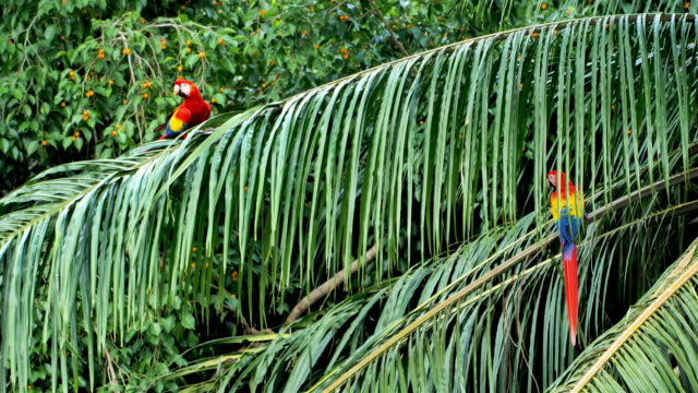Wild Scarlet Macaws, Costa Rica Wild Scarlet Macaws, Costa Rica  Costa Rica, culture, nature and travel concepts. beauty in nature stock videos & royalty-free footage