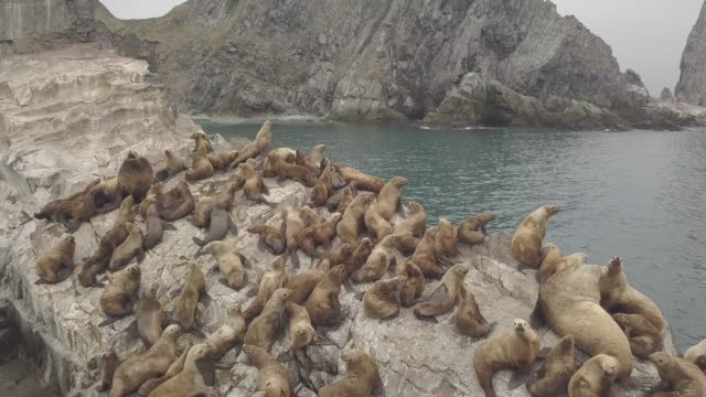 Wild sealions sitting on rocky cliff in pacific ocean aerial view from above flying drone