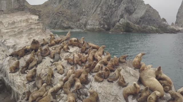 vídeos de stock, filmes e b-roll de sealions selvagem sentado no penhasco rochoso no oceano pacífico vista aérea acima voando drone - manada